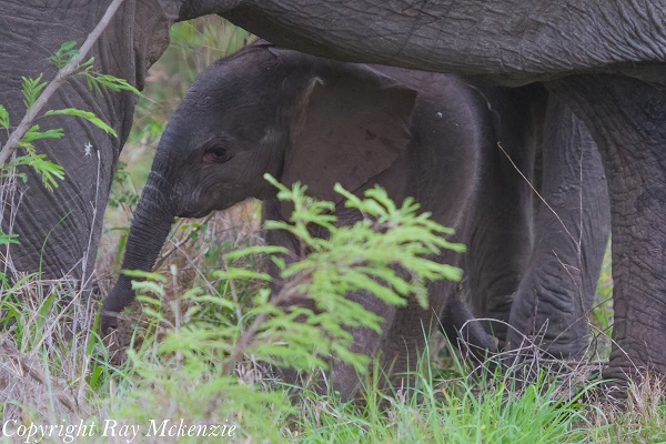 Baby Elephant Kruger National Park