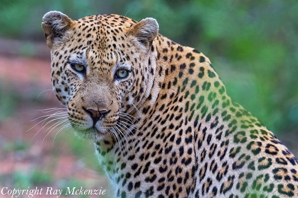 Leopard giving us tourists the what the heck look!