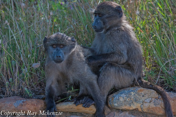 South Africa Day 4 - with Neale Bayly and Anthony Carrino Baby Baboons