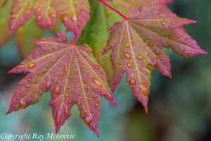 Fall Leaves Ray Mckenzie MapTacs Photography Wallpaper